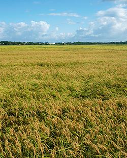 きれいな土壌で作られたお米